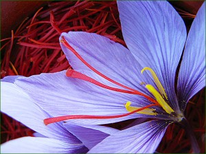 AS062_pistils-crocus-2